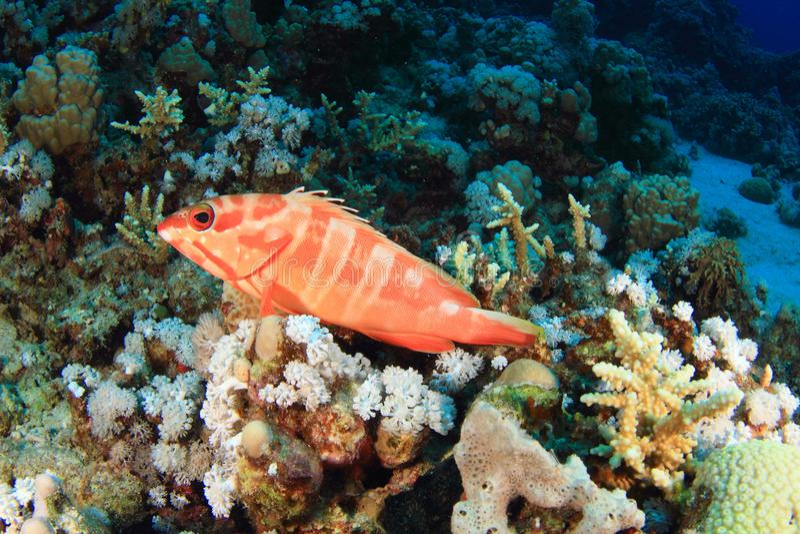 Rybi Blacktip grouper fotografia royalty free