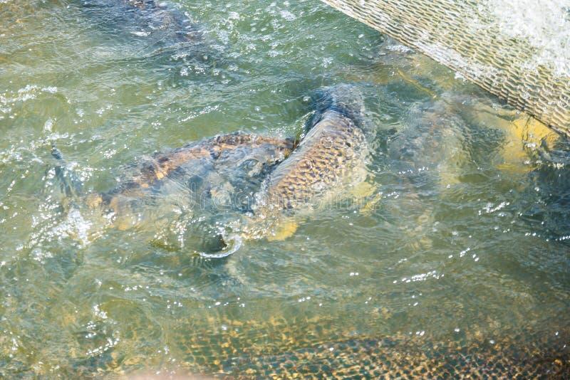 Rybi Czarny amorek łapiący w sieci obrazy stock