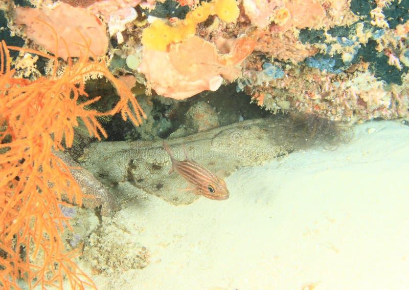 Rybi dopłynięcie od wobbegong rekinu obraz royalty free