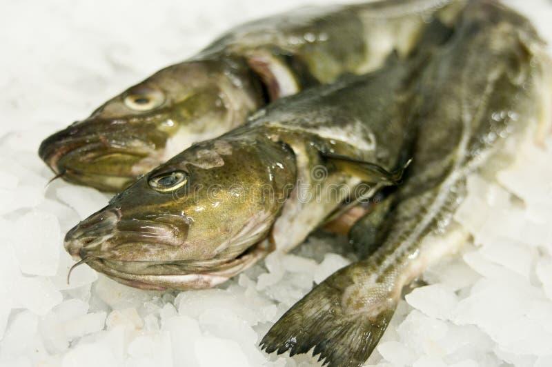 rybi dorsza jedzenie zdjęcie royalty free