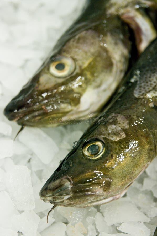rybi dorsza jedzenie zdjęcia royalty free