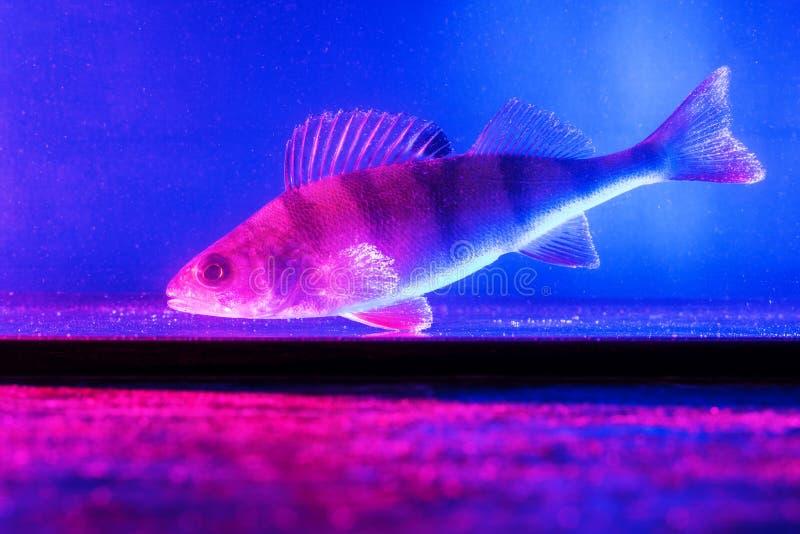 Rybi ?erdzi p?ywania w akwarium w b??kicie i menchiach barwi? zdjęcia stock