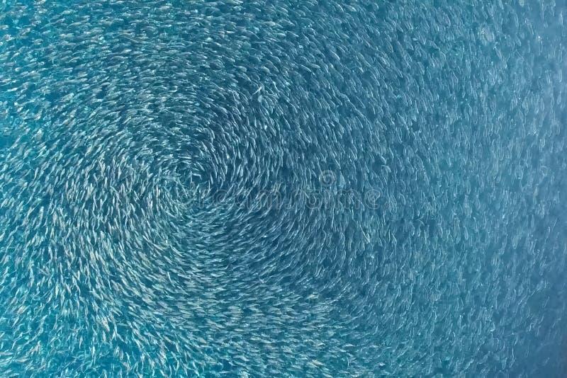 Rybi gospodarstwo rolne w morzu, fechtującym się z round siecią obraz royalty free