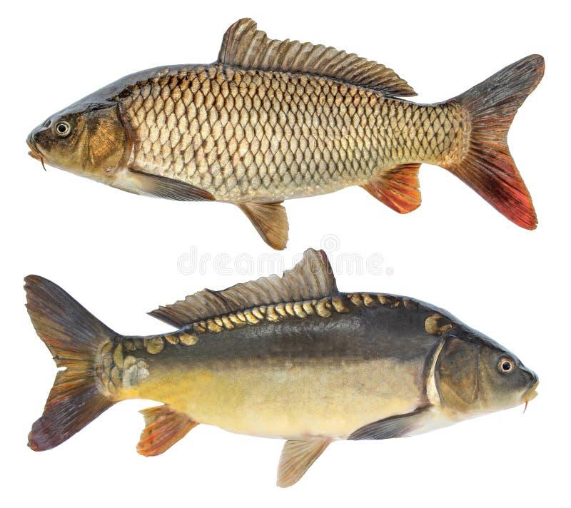 Rybi karp Odosobniona ryba z i bez skal fotografia royalty free