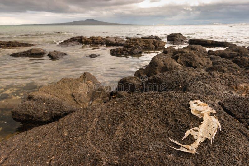 Rybi kościec na powulkanicznych skałach zdjęcie stock