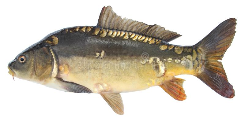 Rybi lustrzany karp Odosobniona ryba bez skal obrazy royalty free