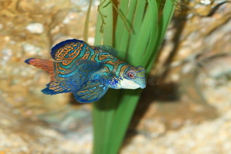 rybi mandarynki pterosynchiropus splendidus zdjęcia stock