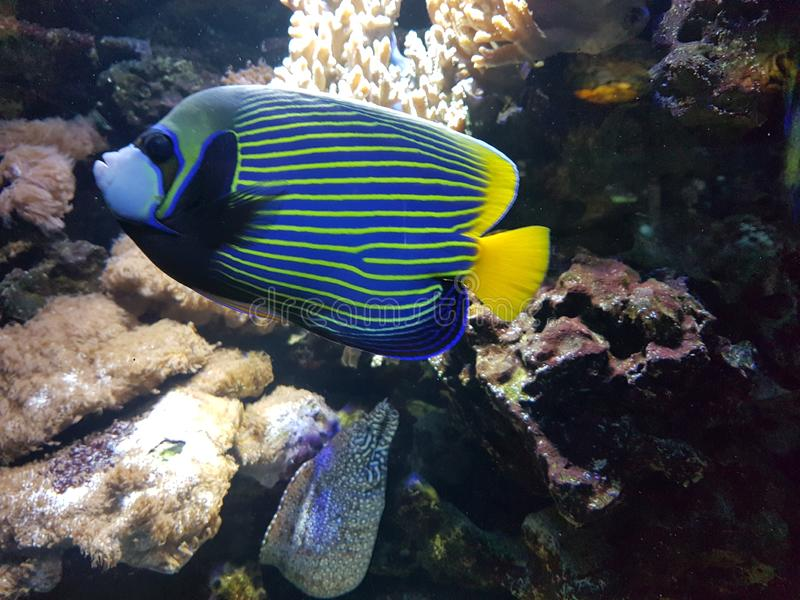 Rybi Niesamowicie Bannerfish w akwarium zdjęcie stock
