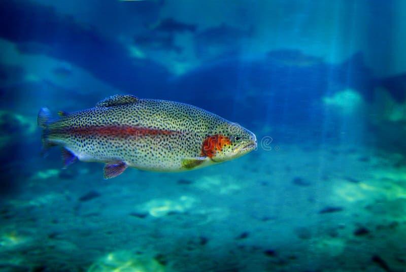 rybi pływacki pstrąg zdjęcia stock