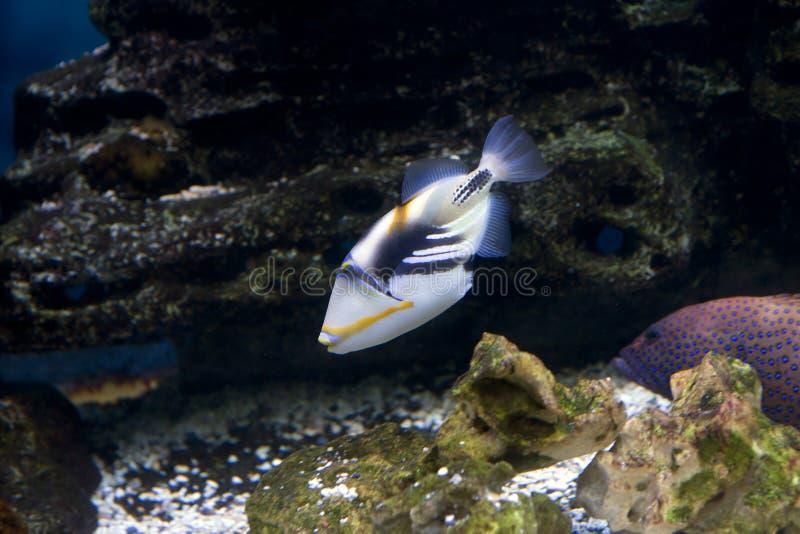 Rybi Picasso Triggerfish barbed zdjęcie stock