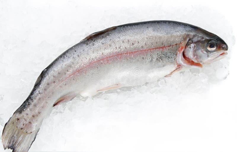 rybi pstrąg zdjęcie stock
