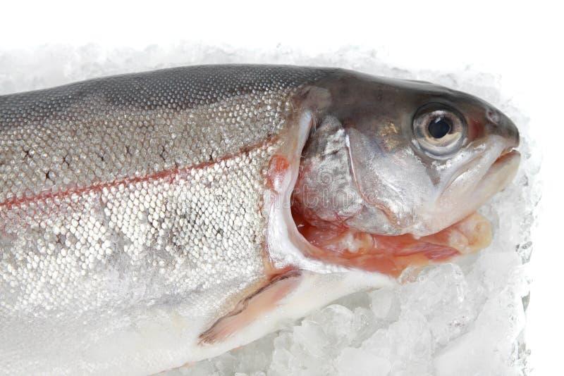 rybi pstrąg obrazy royalty free