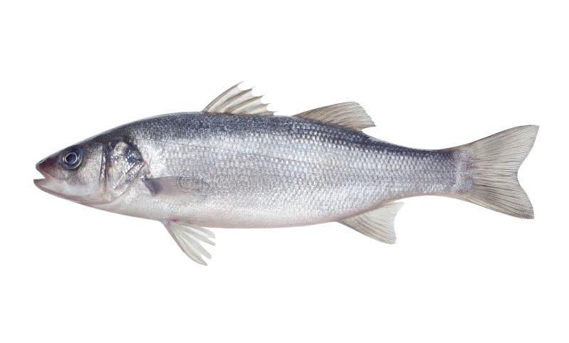 Rybi seabass zdjęcia stock