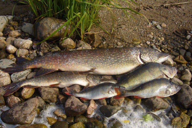 Rybi szczupak i żerdź, obrazy stock