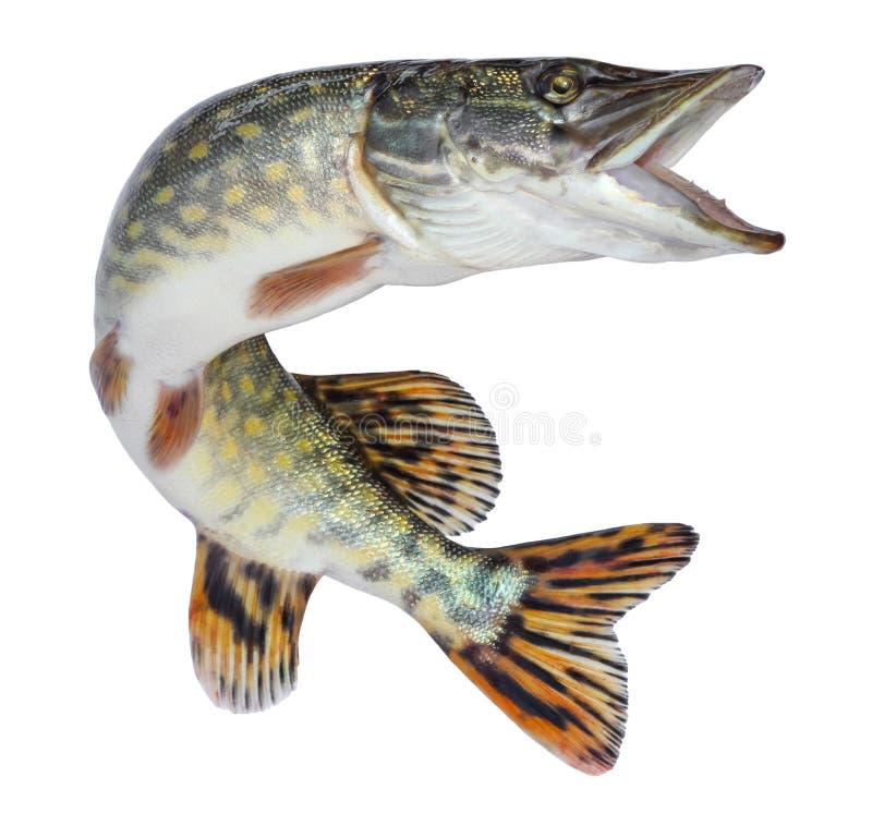Rybi szczupak odizolowywający Słodkowodna żywa rzeki ryba z skalami fotografia stock