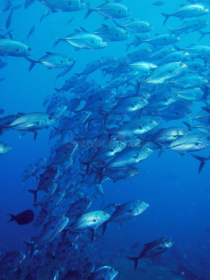 rybi szkoły trevally underwater obrazy stock
