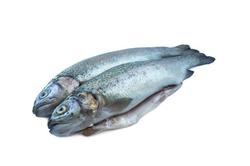 Rybi tęcza pstrąg, odizolowywający na białym tle Dwa pstrąga nad białym tłem Ryba z kopii przestrzenią dla teksta fotografia stock