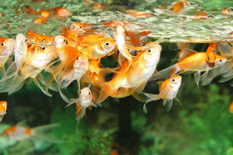 rybi złocisty odosobnienie biel zdjęcie stock