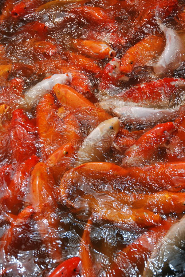 rybi złoto zdjęcia royalty free
