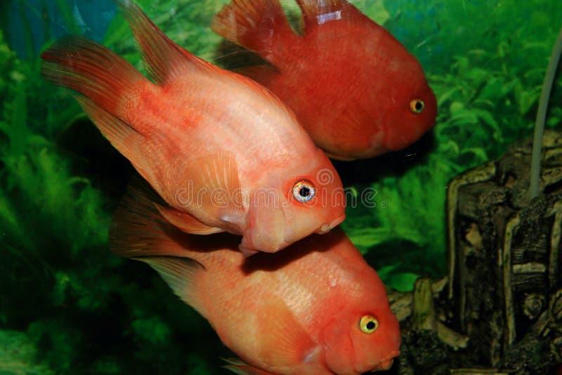 rybi złoty obrazy stock