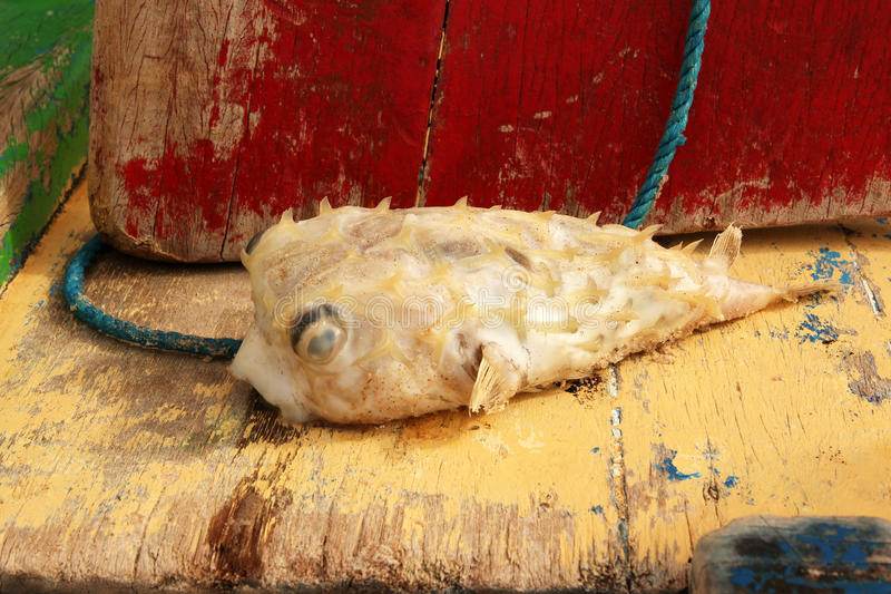 rybia Brazil jeżatka zdjęcia stock