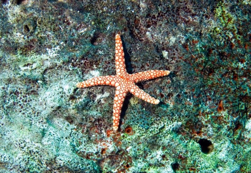 rybia fromia monilis czerwieni gwiazda zdjęcia royalty free