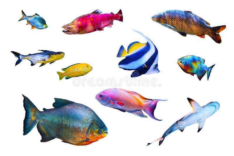 Rybia kolekcja odizolowywająca na bielu zdjęcie royalty free