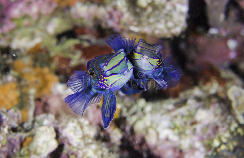rybia mandarynka obraz royalty free