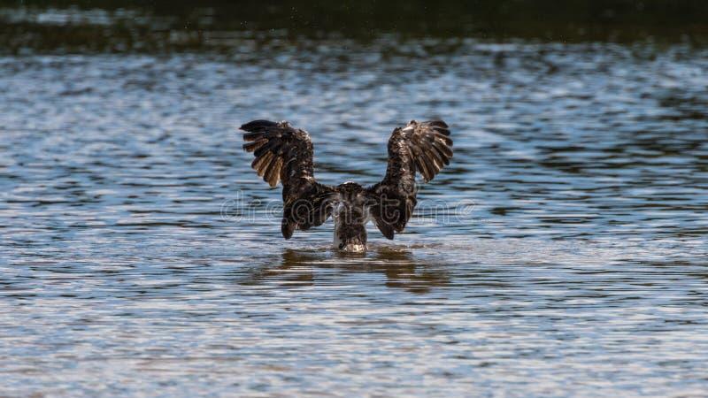 Rybołowa kąpanie, J n Ding Kochany Krajowy rezerwat dzikiej przyrody, zdjęcia stock