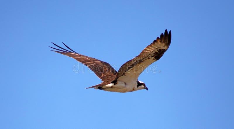 Rybołowa seahawk ptaka drapieżnego unikalny ptak zdobycza ptasi latanie w Michigan podczas wiosna połowu jastrzębia amerykanina r obraz royalty free