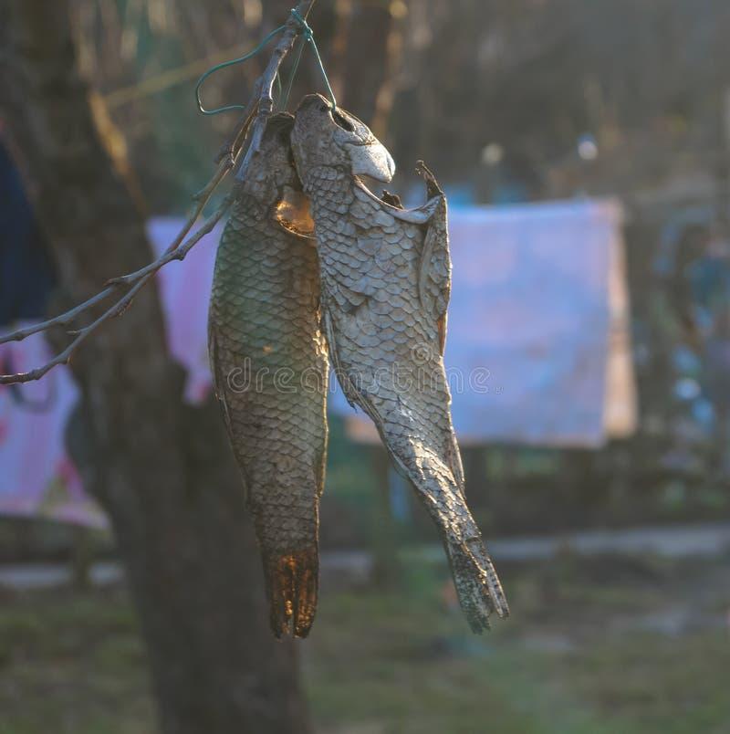 ryby suszone obrazy royalty free