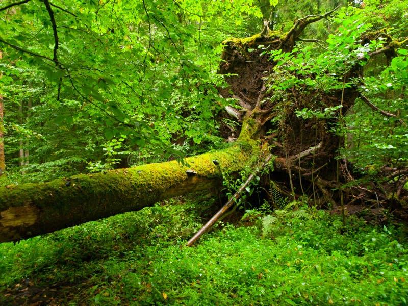 Ryckt upp träd som är stupat i skogen royaltyfri fotografi