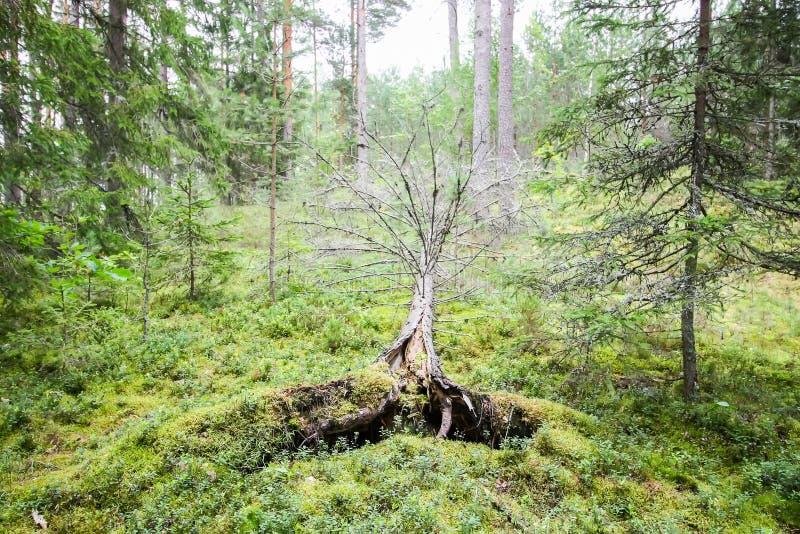 Ryckte upp träd efter orkan i en skog i Östeuropa royaltyfria foton