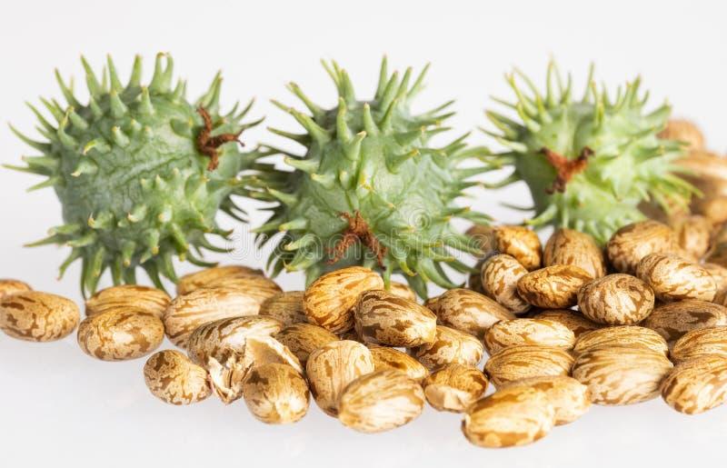 Rycynowe bobowe ro?liny - Ricinus communis zdjęcia stock