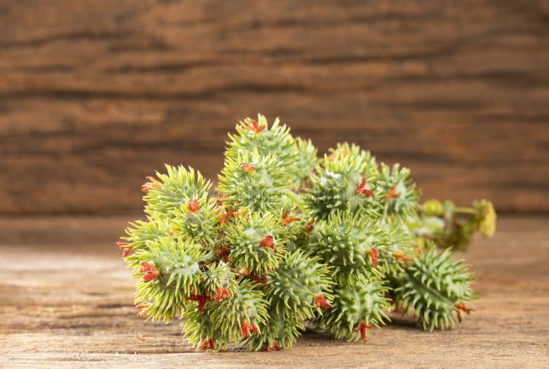 Rycynowe bobowe ro?liny - Ricinus communis zdjęcie royalty free