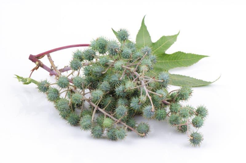 Rycynowy - nafciana roślina zdjęcie royalty free