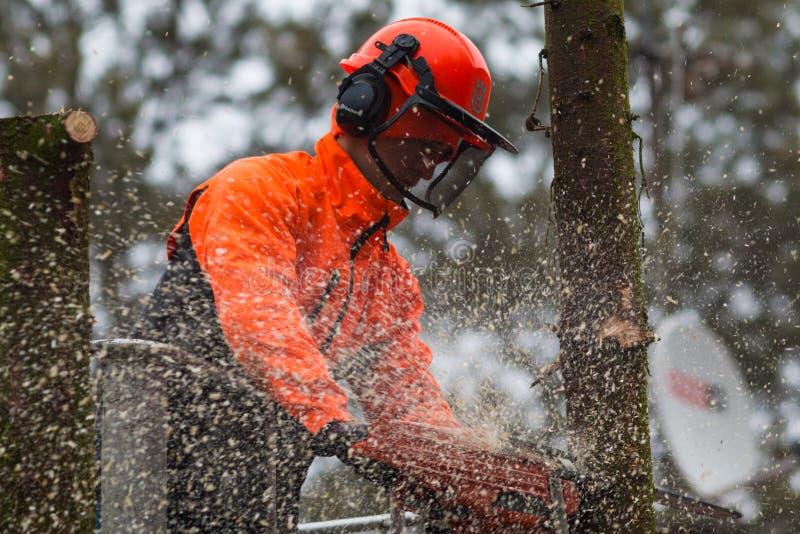 RYCZYWOL,波兰- 2017年2月18日-伐木工人与锯的切口树 库存照片