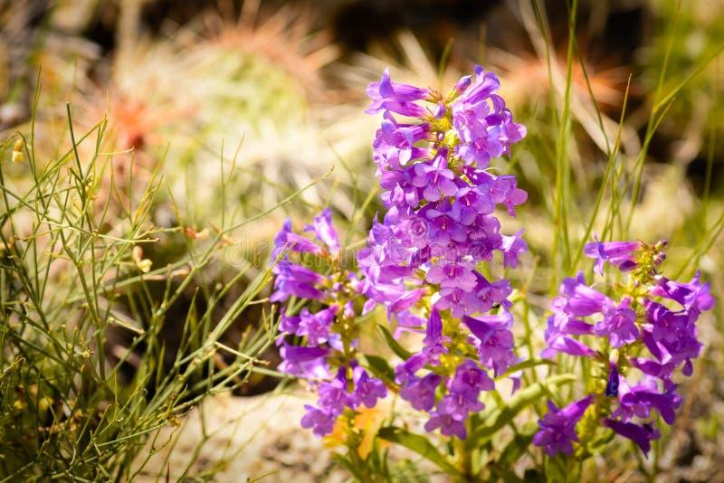 Rydberg Penstemon rośliny W Kolorado zdjęcie royalty free
