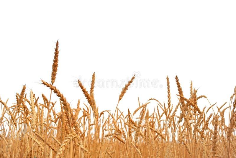 Rye. image libre de droits