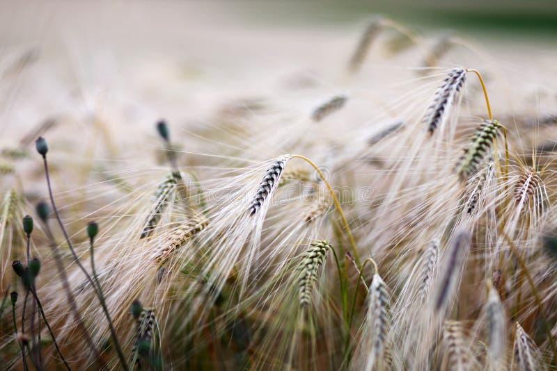 Rye au crépuscule photos libres de droits