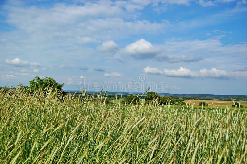 Rye dans la perspective du ciel bleu photo stock