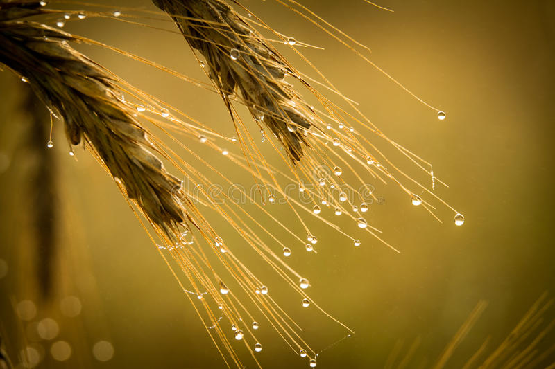Rye with dewdrop at sunrise royalty free stock photos