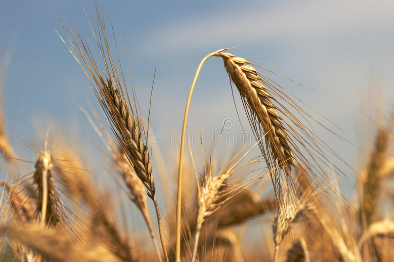 Rye ear. A field of rye at the harvest period royalty free stock images