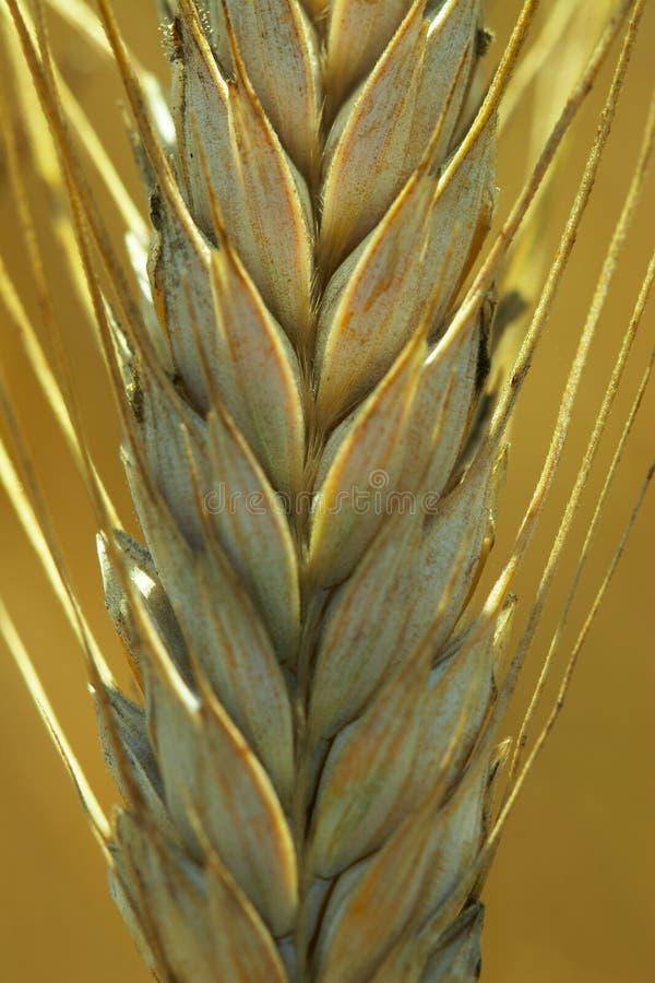Rye ear. Macro shot of a rye ear royalty free stock photo