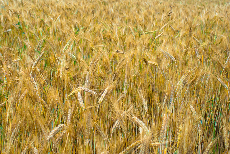 Download Rye ears stock image. Image of detail, crop, crops, nobody - 26415501