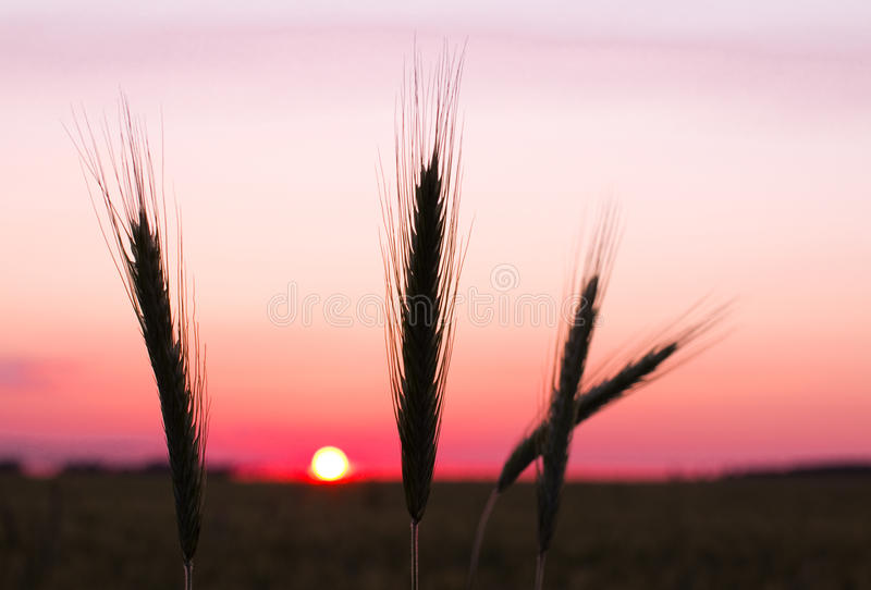 Download Rye ears at sunset stock image. Image of blue, alone - 25664781