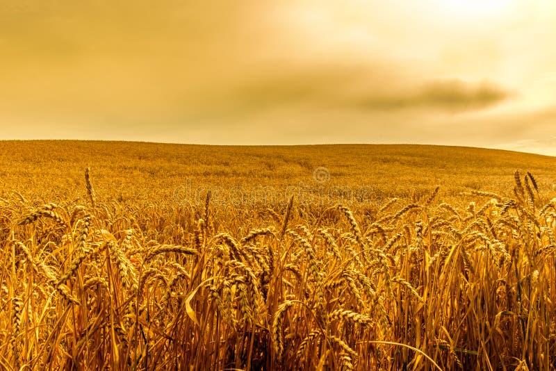 Rye-Feld des Weizens stockbild