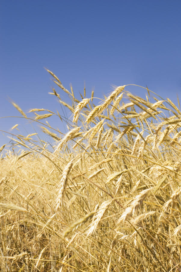 Free Rye Field Royalty Free Stock Photography - 15377377
