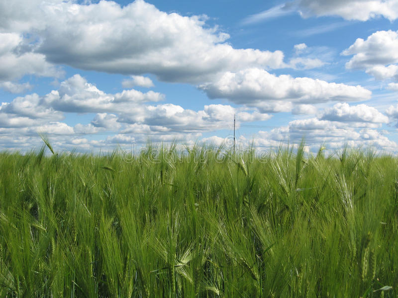 Download Rye Field Stock Photography - Image: 17062172