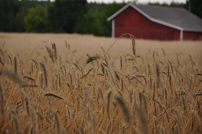 Download Rye field stock photo. Image of agriculture, wheat, nature - 22684434